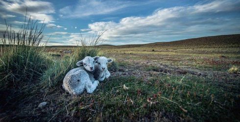 Lambs on grasslands of Patagonia
