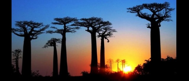 Former French Colony Madagascar - Baobabs at sunset