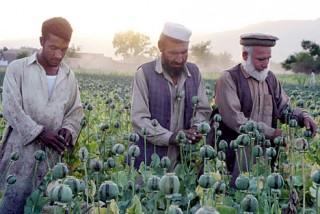 The poppy flower trade