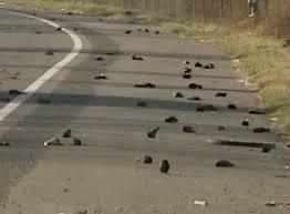 It's raining dead blackbirds...why?